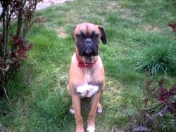 Fetji, chien Boxer