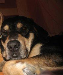 Bacuss, chien