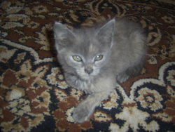 Tosia, chat Bleu russe