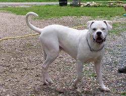 Badgio, chien Dogue argentin