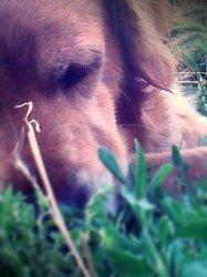 Badie, chien Golden Retriever