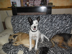Bady, chien Bull Terrier