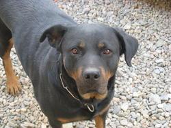 Volga, chien Rottweiler