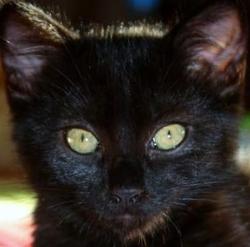 Bagheera, chat Européen
