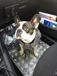 Bagheera, chien Bouledogue français