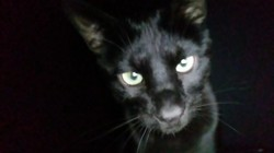 Bagheera, chat Savannah