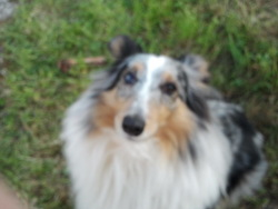 Baghera, chien Berger des Shetland