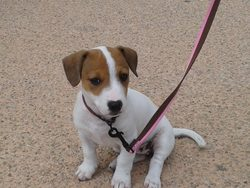 Baghera, chien Jack Russell Terrier