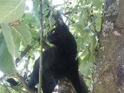 Bagherra, chat Européen