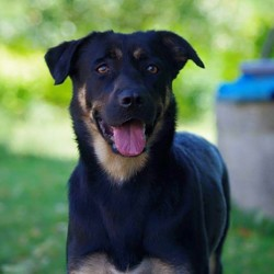 Baghi, chien Rottweiler