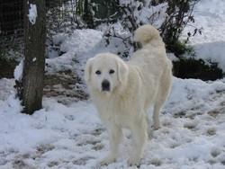 Bagira, chien Berger polonais de Podhale
