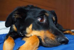 Bagou, chien Beauceron