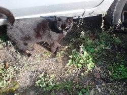 Baguéra, chat Gouttière