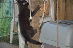 Baguera, chat Européen