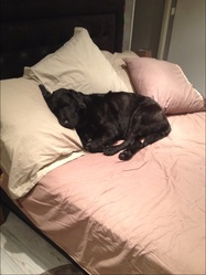 Baguerra , chien Labrador Retriever