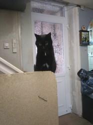 Baguerra, chat Européen