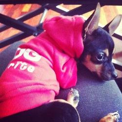Baguette, chien Chihuahua