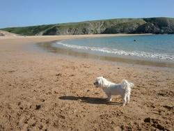 Bahia, chien Bichon maltais