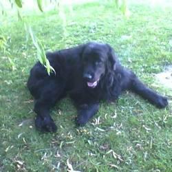 Bahia, chien Terre-Neuve