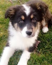 Bahia, chien Berger australien
