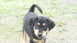 Bahira , chien Beauceron