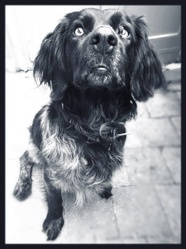 Bahya, chien Épagneul breton