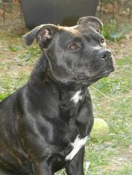 Baika, chien Staffordshire Bull Terrier