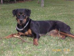 Baika, chien Rottweiler