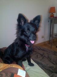 Baika, chien Spitz allemand