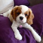 Baika, chien Cavalier King Charles Spaniel