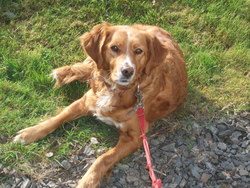 Baika , chien Golden Retriever
