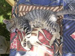 Baîka, chat Gouttière