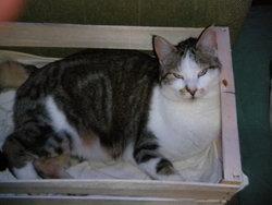 Baikal, chat Gouttière
