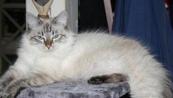 Baikale, chat Sibérien