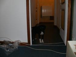 Baila, chien Border Collie