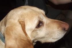 Baila, chien Labrador Retriever