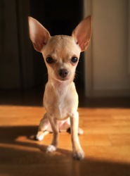 Bailey, chiot Chihuahua