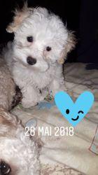 Bailey, chien Bichon maltais