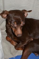 Bailley, chien Pinscher