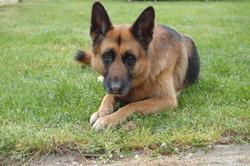 Baja, chien Berger allemand