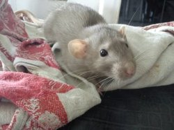 Baka, rongeur Rat