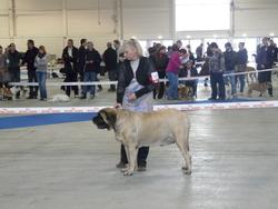Baksi, chien Mastiff