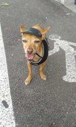 Balbo, chien Pinscher