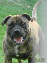 Baldo, chien Dogue de Majorque