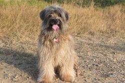 Balerou  Du Champ  D'Onix, chien Berger des Pyrénées