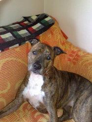 Balie, chien American Staffordshire Terrier