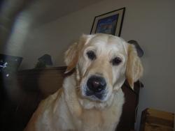 Balie, chien Golden Retriever