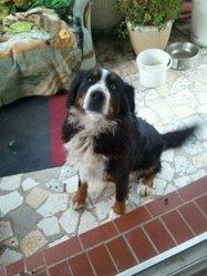 Balika, chien Bouvier bernois