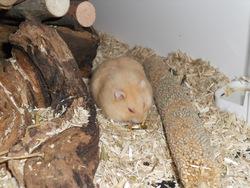 Balin, rongeur Hamster