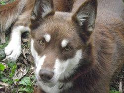 Balka, chien Berger finnois de Laponie